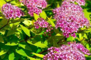 spirea_japonica_rose003