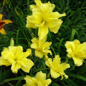 hemerocallis_duble_river_wye_001