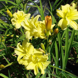 hemerocallis_duble_river_wye_004