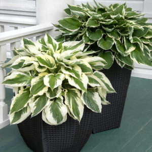 hosta_patriot_003