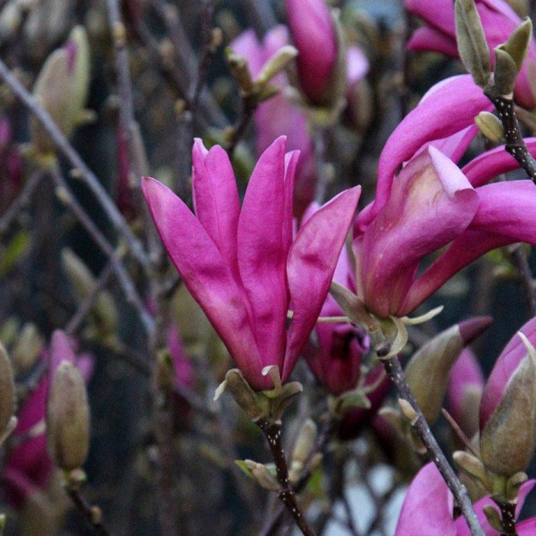 Magnolia-Susan