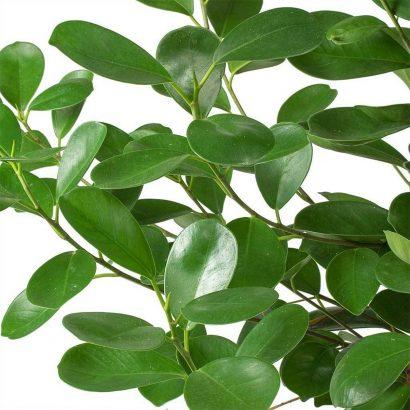 Ficus_micr_Moclame_002