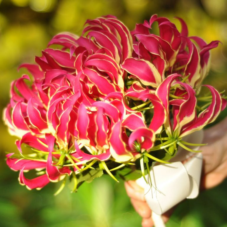 Gloriosa_Rothschildiana_Flame_lily_004