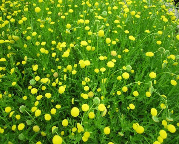Cotula_coronopifolia