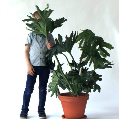 PHILODENDRON SELLOUM Hope (1)