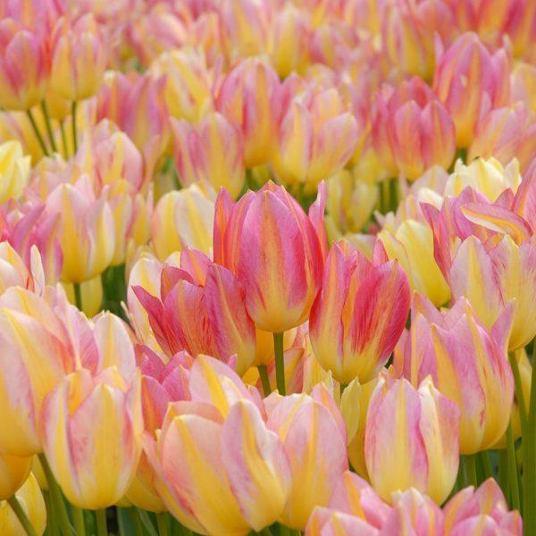 Antoinette-tulip