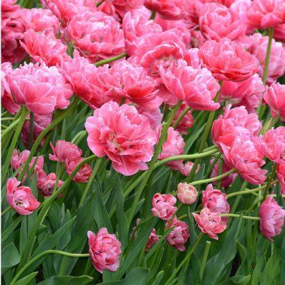 Aveyron-tulip