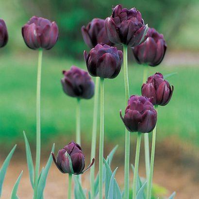 Black-hero-tulip