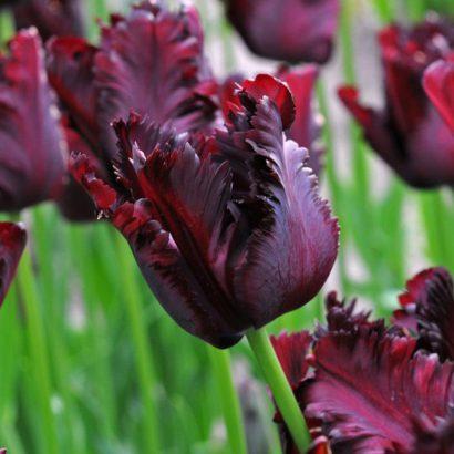 Black-parrot-tulip