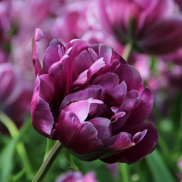 Blue-diamond-tulip