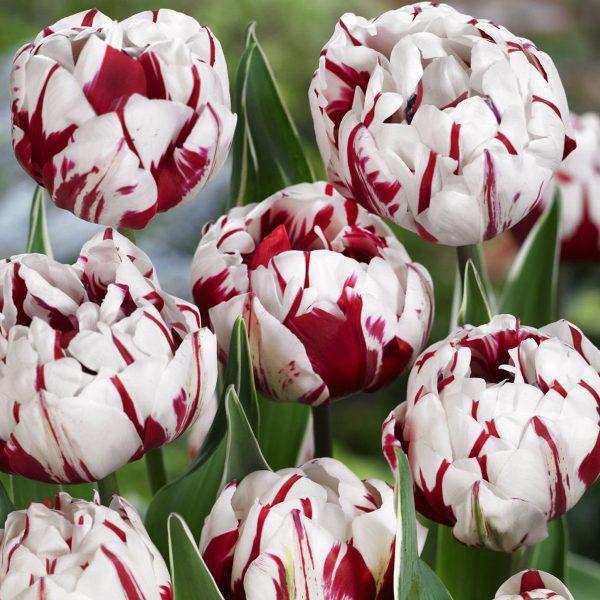 Carnaval-de-nice-tulip