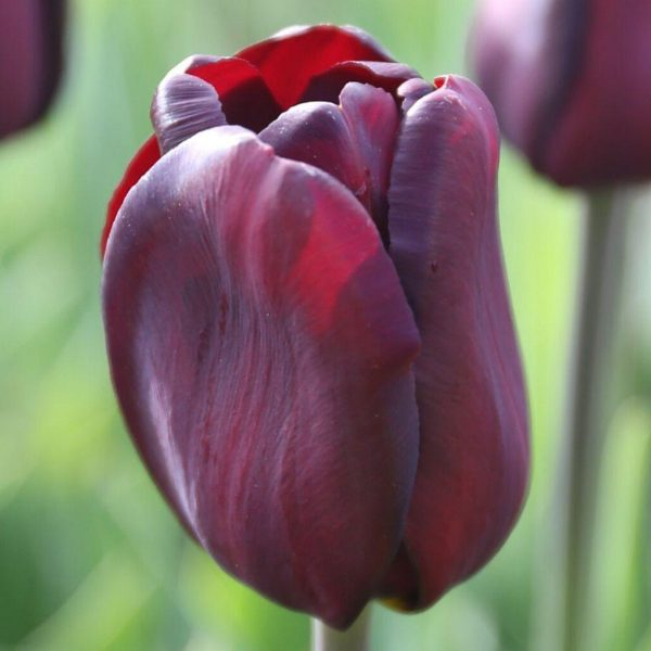 Continental-tulip