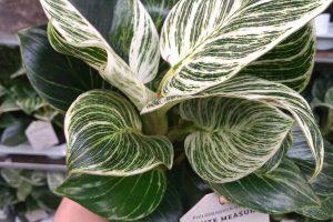 Philodendron-white-measure