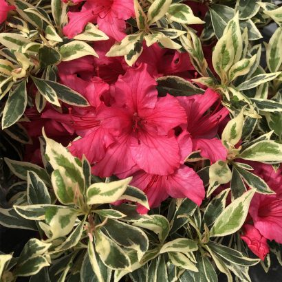 """RHODODENDRON """"Bollywood"""""""