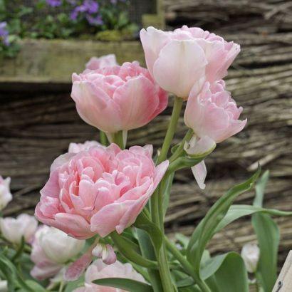 angelique_tulip