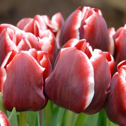 armani-tulip