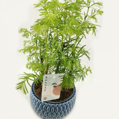 bonsai-metasequoia-forest-1