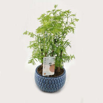 bonsai-metasequoia-forest-2