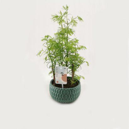 bonsai-metasequoia-forest-3