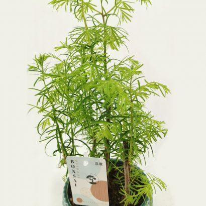 bonsai-metasequoia-forest-4
