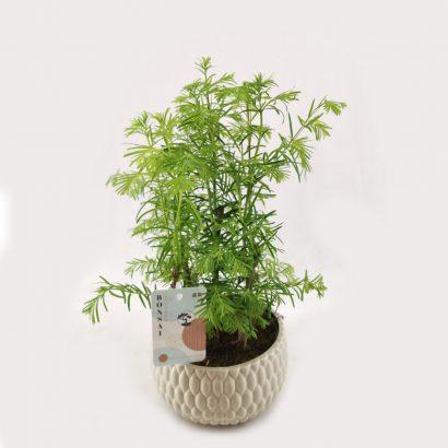 bonsai-metasequoia-forest-5