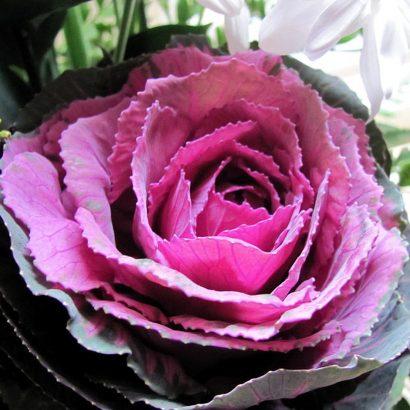brassica-purple-ukrasnikelj-1