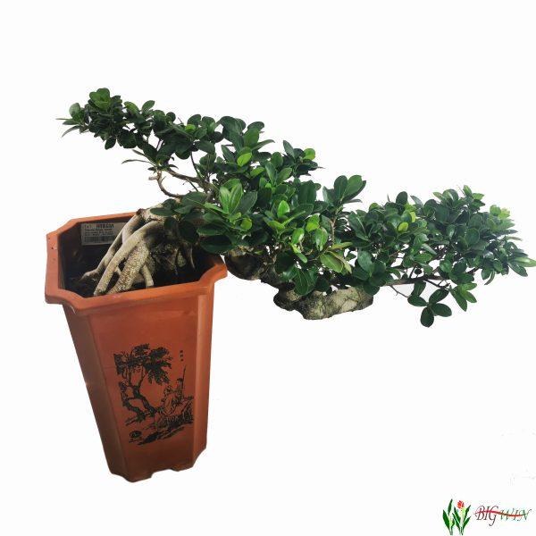ficus-micr-ginseng-bonsai-1
