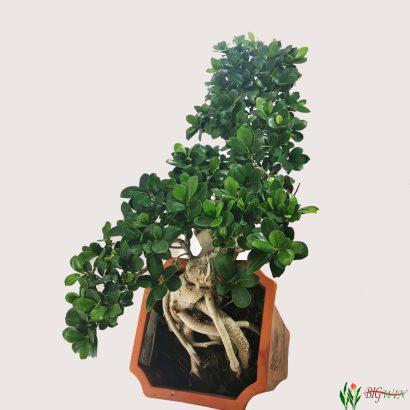ficus-micr-ginseng-bonsai-2