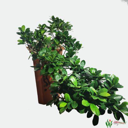 ficus-micr-ginseng-bonsai-3