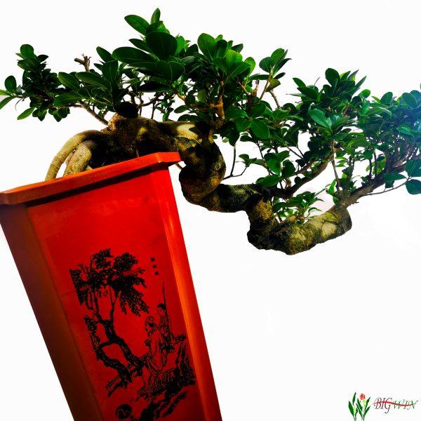 ficus-micr-ginseng-bonsai-4