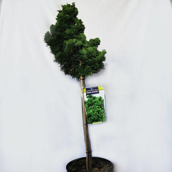 nana-graacilis