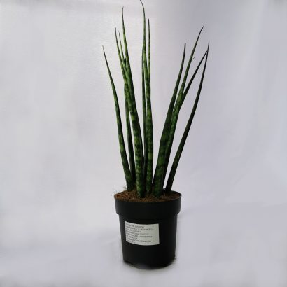 sansevieria-fernwood