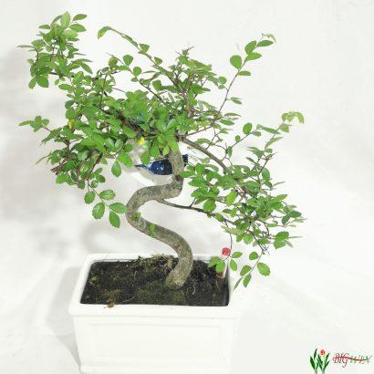 bonsai-7