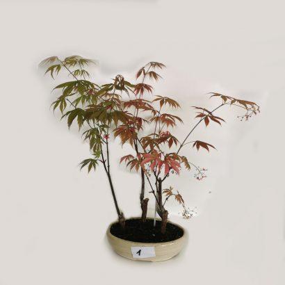 bonsai-acer-3-1