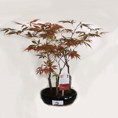 bonsai-acer-4-3
