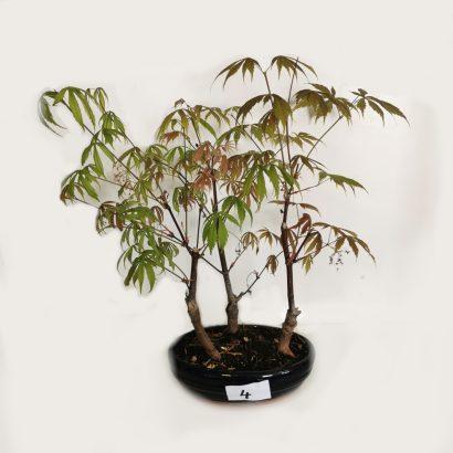 bonsai-acer-5-4