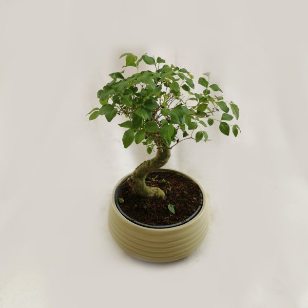 bonsai-tegla-1