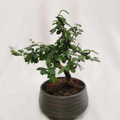 bonsai-tegla-2
