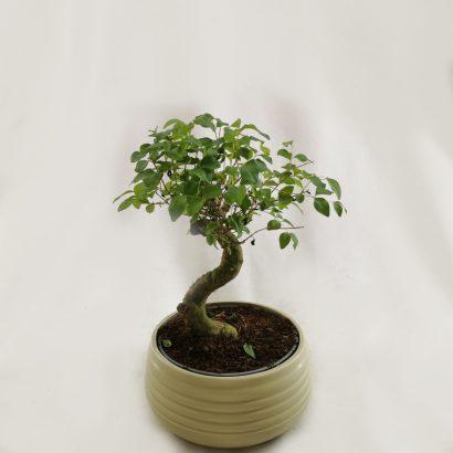 bonsai-tegla-3
