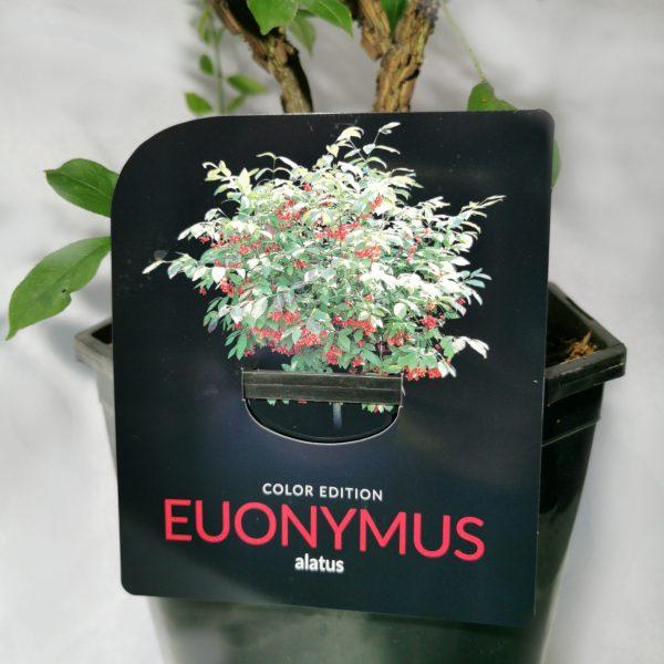 euonymus-alatus