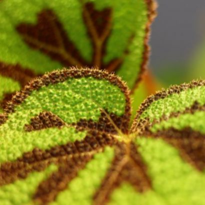 begonia-foliage-masoniana-mountain-1