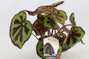 begonia-foliage-masoniana-mountain-2