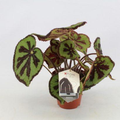 begonia-foliage-masoniana-mountain-2