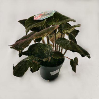 begonia-masoniana-jungle-1