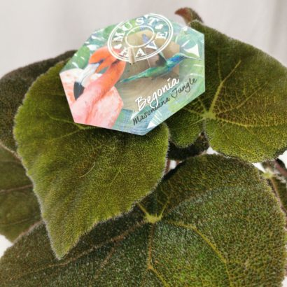 begonia-masoniana-jungle-2