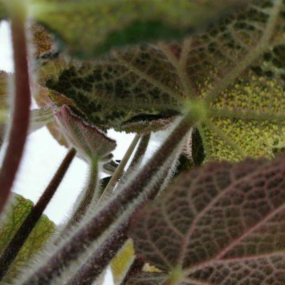 begonia-masoniana-jungle-3