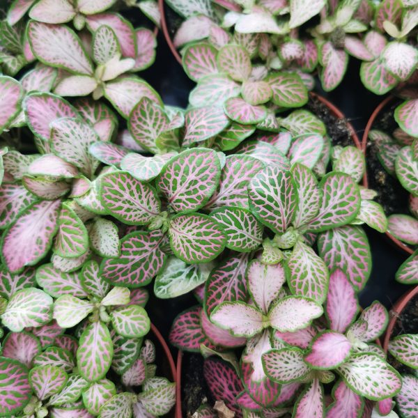 fittonia-salmon-forest-