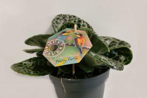 streptocarpus-pretty-turtle-1